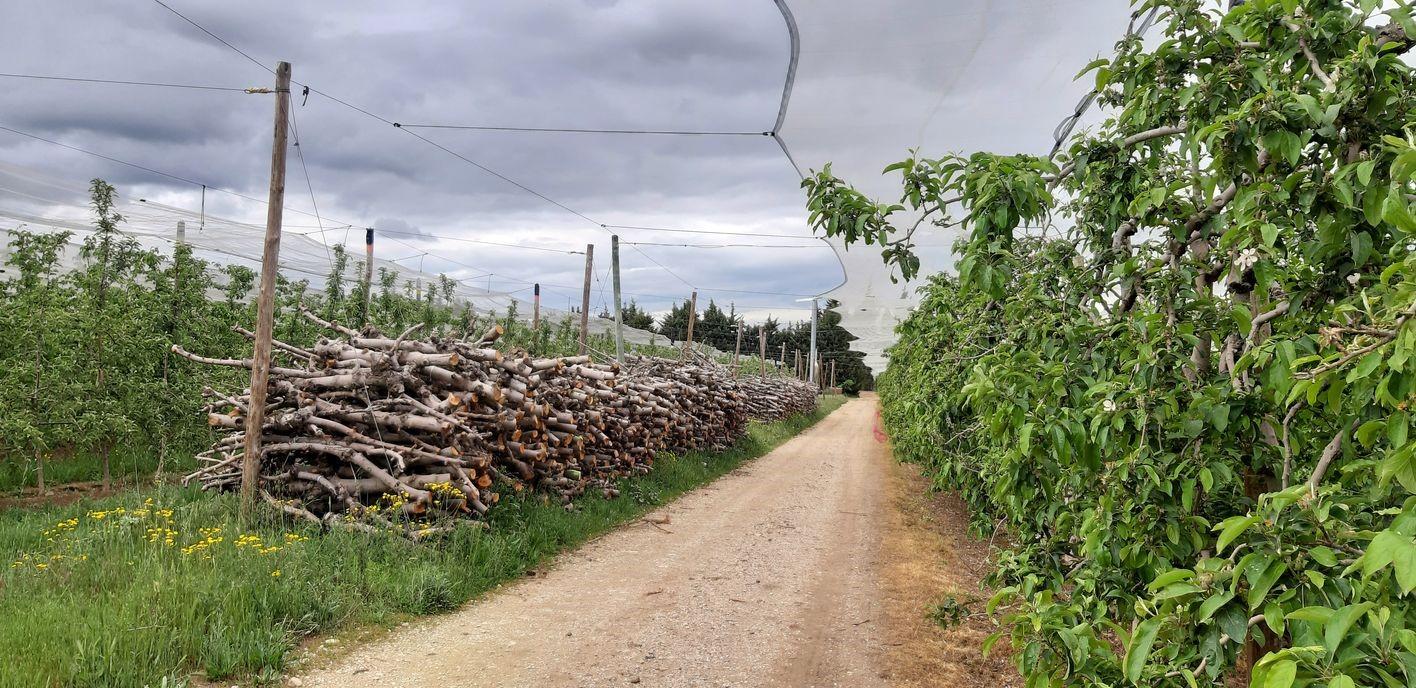 Tas de tronc de pommier qui seront valorisés comme combustible